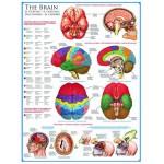 Puzzle  Eurographics-6000-0256 Le cerveau