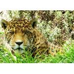 Puzzle  Grafika-Kids-00538 Pièces Magnétiques - Jaguar