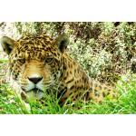 Puzzle  Grafika-Kids-00539 Pièces XXL - Jaguar
