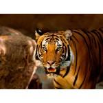 Puzzle  Grafika-Kids-00540 Tigre