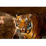 Puzzle  Grafika-Kids-00541 Tigre