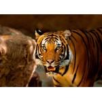 Puzzle  Grafika-Kids-00542 Tigre