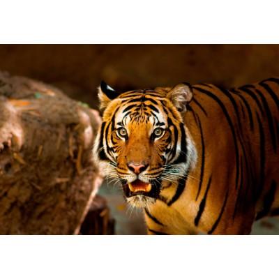Puzzle Grafika-Kids-00544 Pièces XXL - Tigre
