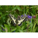 Puzzle  Grafika-Kids-01223 Pièces magnétiques - Papillon