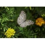 Puzzle  Grafika-Kids-01236 Papillon