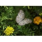 Puzzle  Grafika-Kids-01237 Pièces magnétiques - Papillon