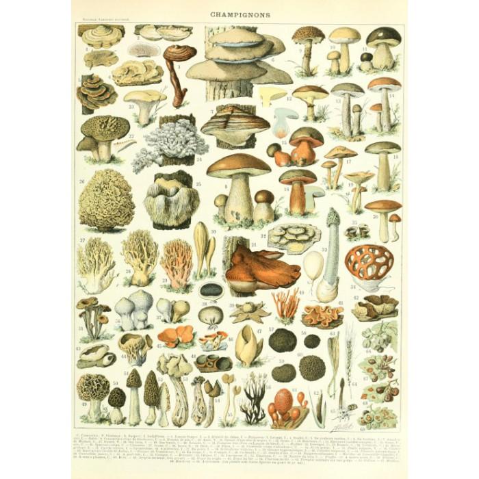 Illustration du Larousse : Champignons , XIXè Siècle