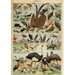 Puzzle  Grafika-00595 Illustration du Larousse pour Tous : Oiseaux , XIXè Siècle