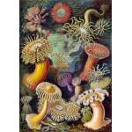 Puzzle  Grafika-00614 Ernst Haeckel : Anémones de Mer , 1904