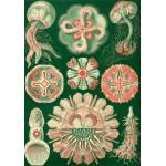Puzzle  Grafika-00616 Ernst Haeckel : Les Trachyméduses , 1904