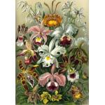Puzzle  Grafika-00617 Ernst Haeckel : Les Orchidées , 1904