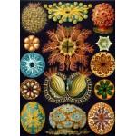 Puzzle  Grafika-00618 Ernst Haeckel : Les Ascidies , 1904