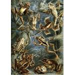 Puzzle  Grafika-00619 Ernst Haeckel : Les Batraciens , 1904