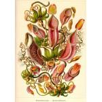 Puzzle  Grafika-01121 Ernst Haeckel: Kunstformen der Natur - Nepenthes (1904)