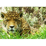 Puzzle  Grafika-01240 Jaguar