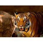 Puzzle  Grafika-01241 Tigre