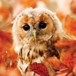 Puzzle   RSPB Tawny Owl
