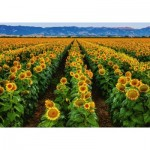 Puzzle  Ravensburger-15288 Champs de Tournesols